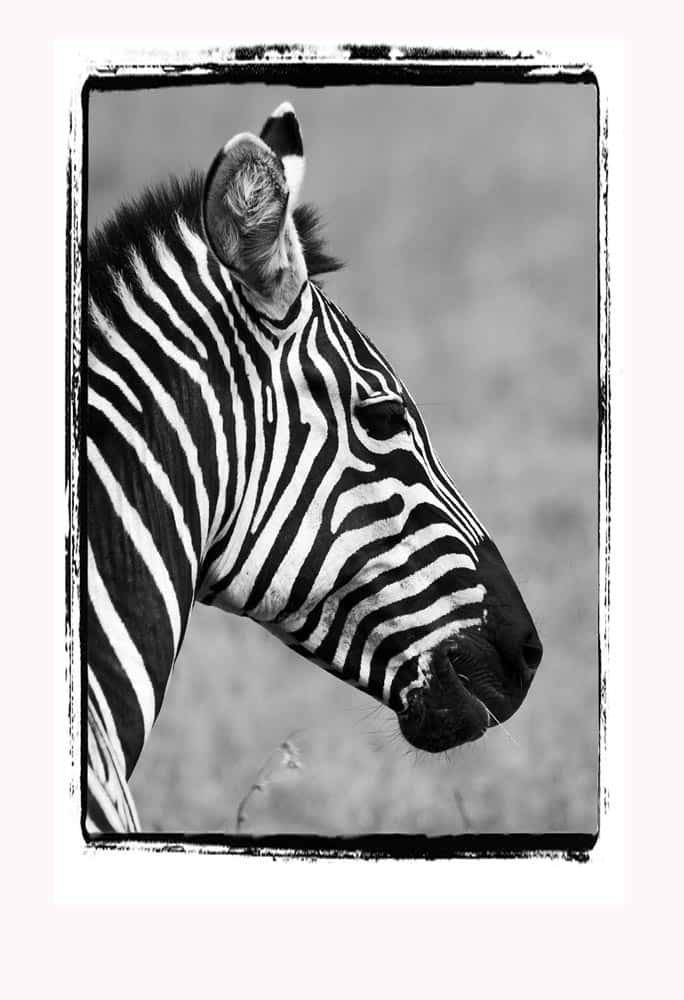 15--B & W Zebra