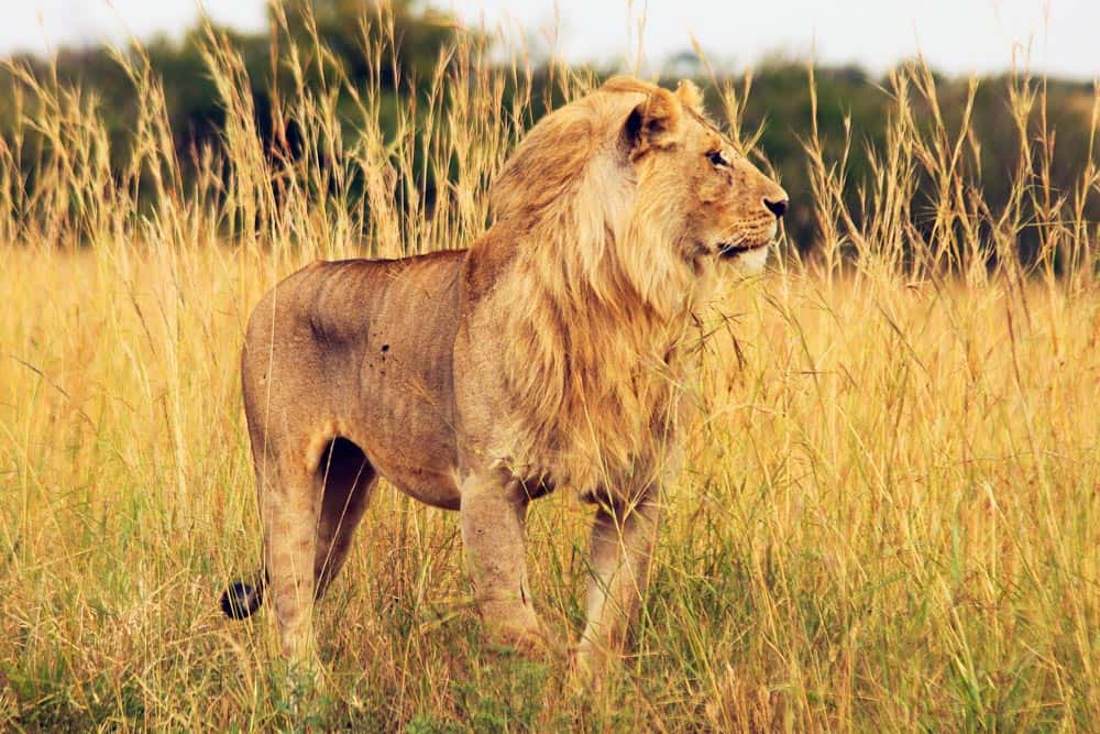 17 African Lion