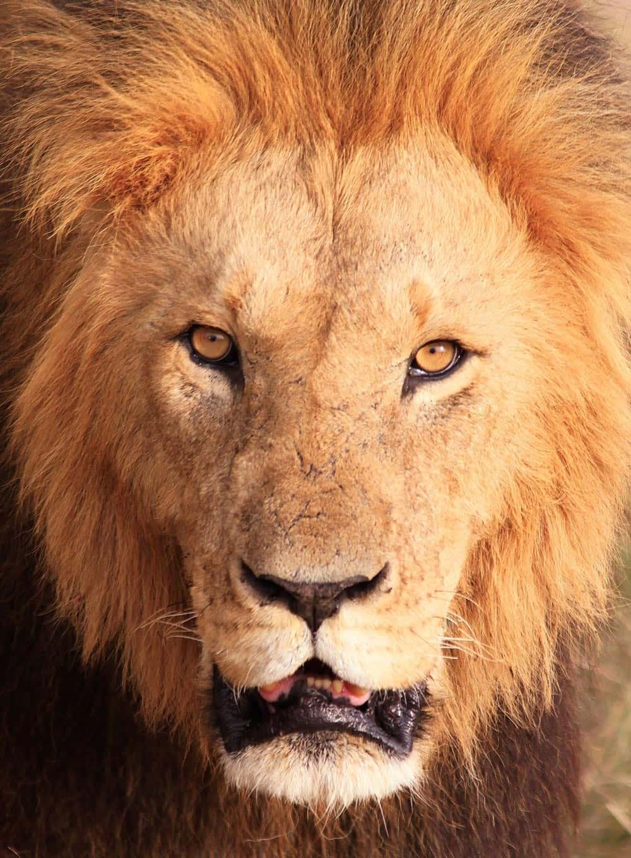 24--Kenya Lion