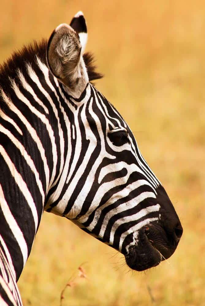 96--Zebra