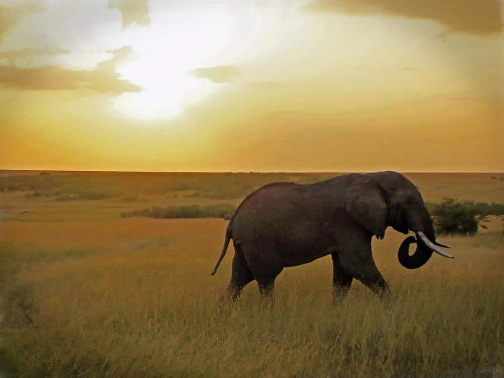 35--Elephant At Sunset