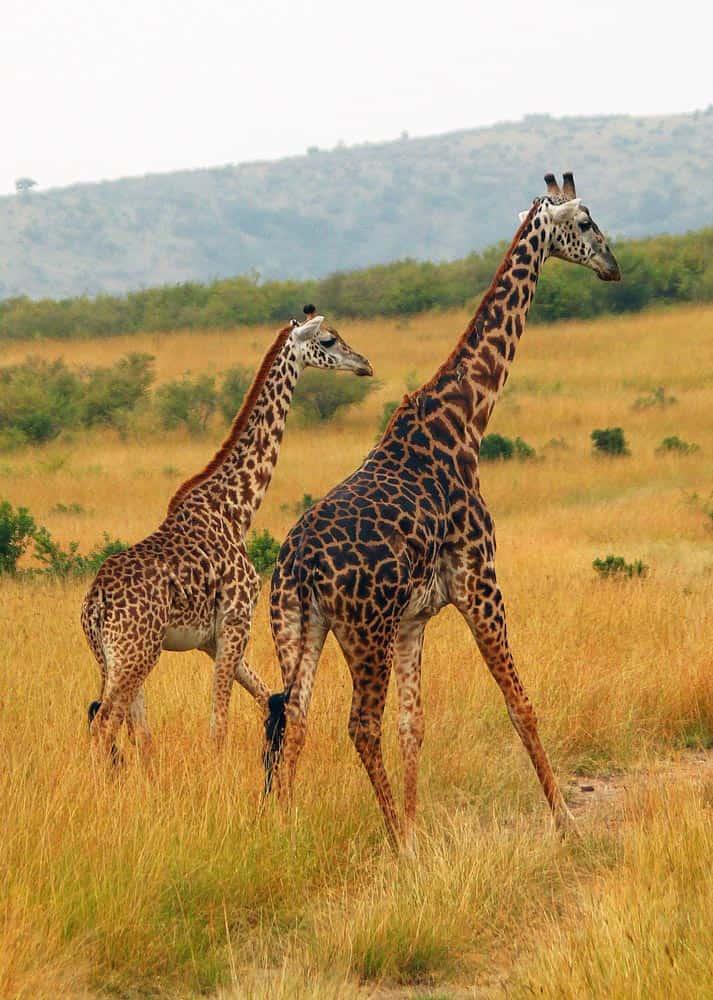 38--Kenya Giraffes