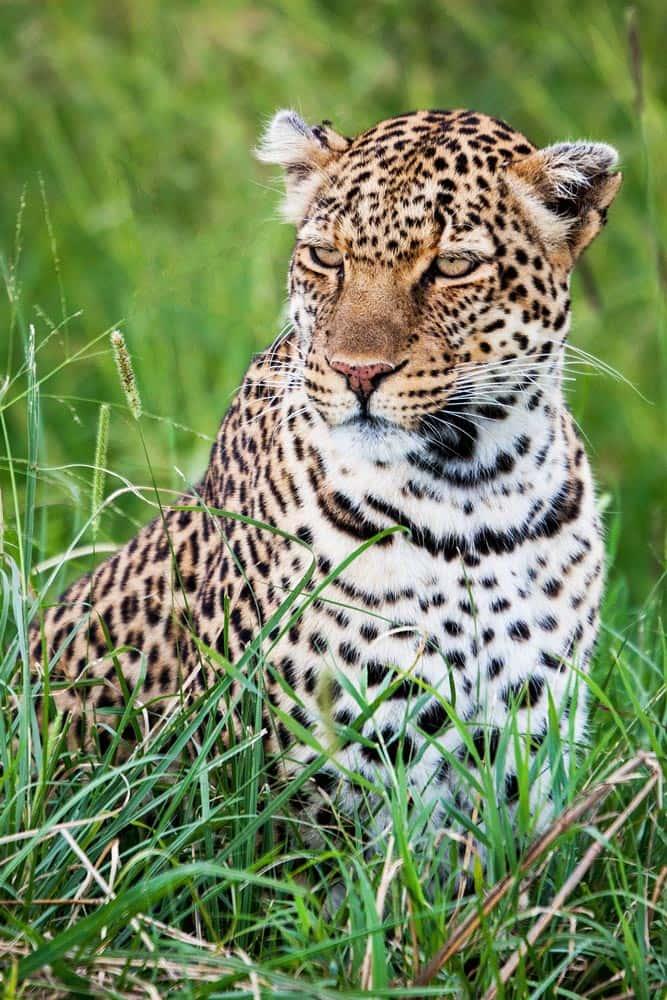 40--Kenya Leopard