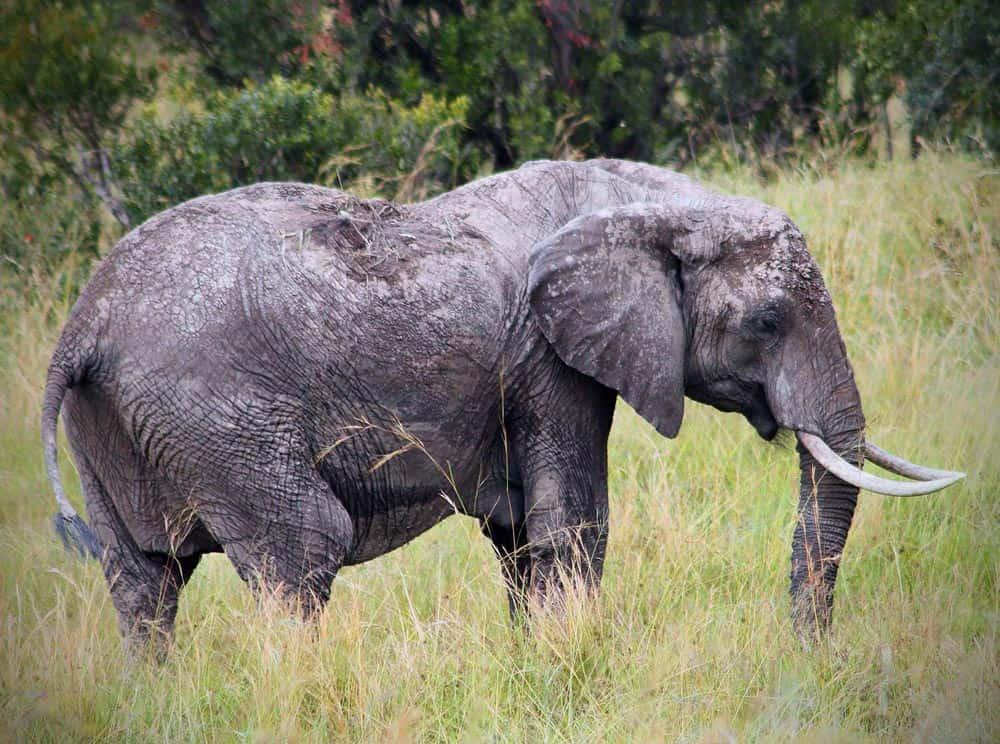 47--Muddy Elephant