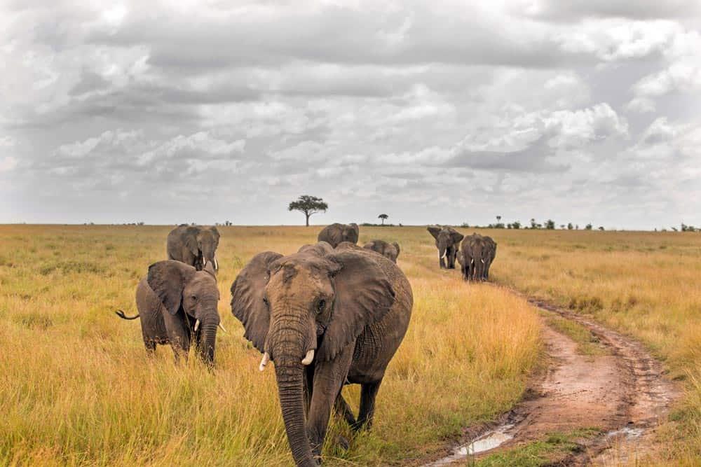 58--Charging Elephants