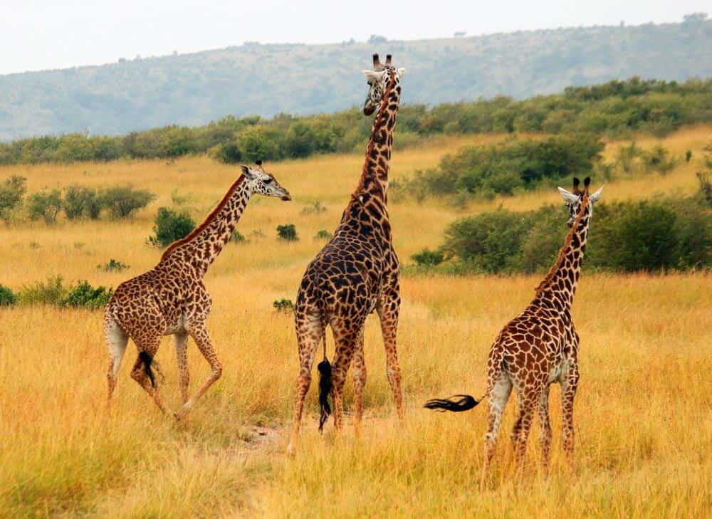 67--Giraffes On The Run
