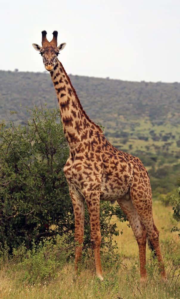 69--Giraffe Conscierge