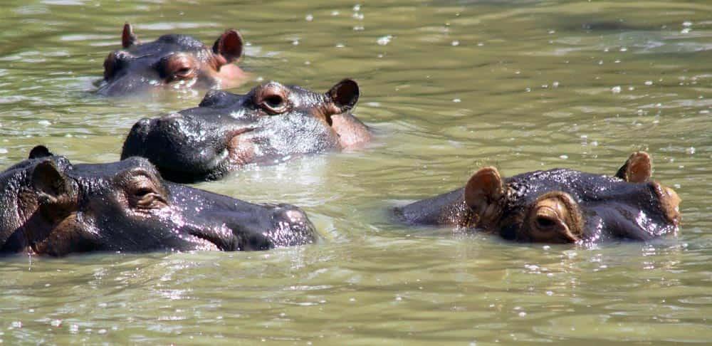 70--Hippos