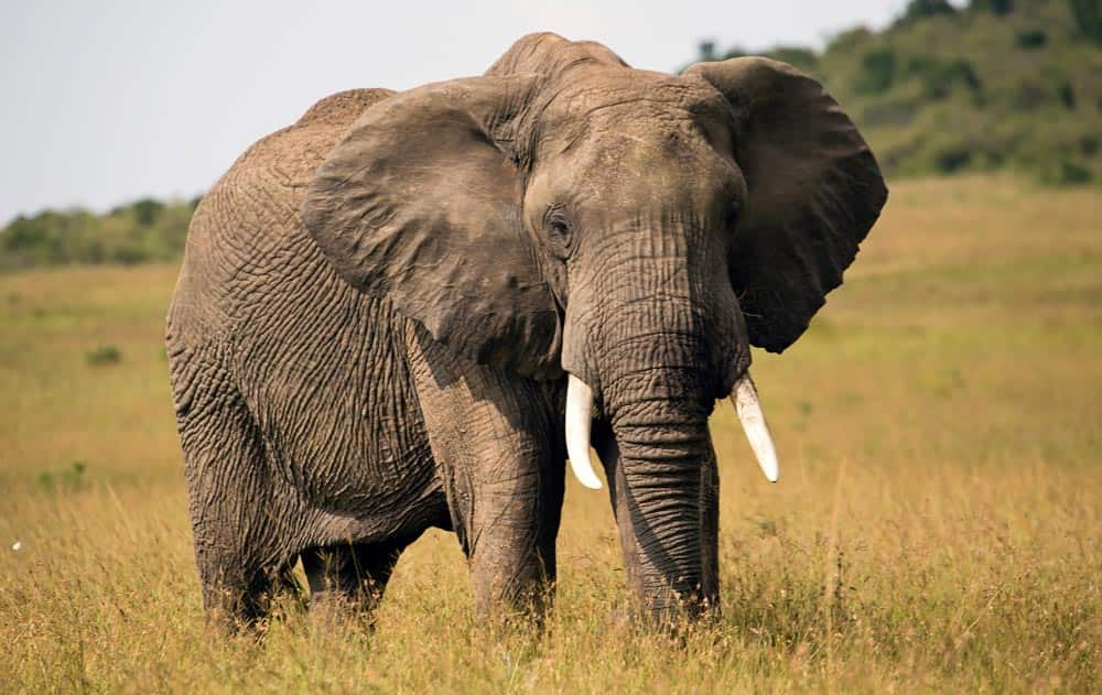 73--Kenya Elephant