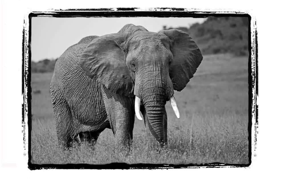 76--Kenya Elephant