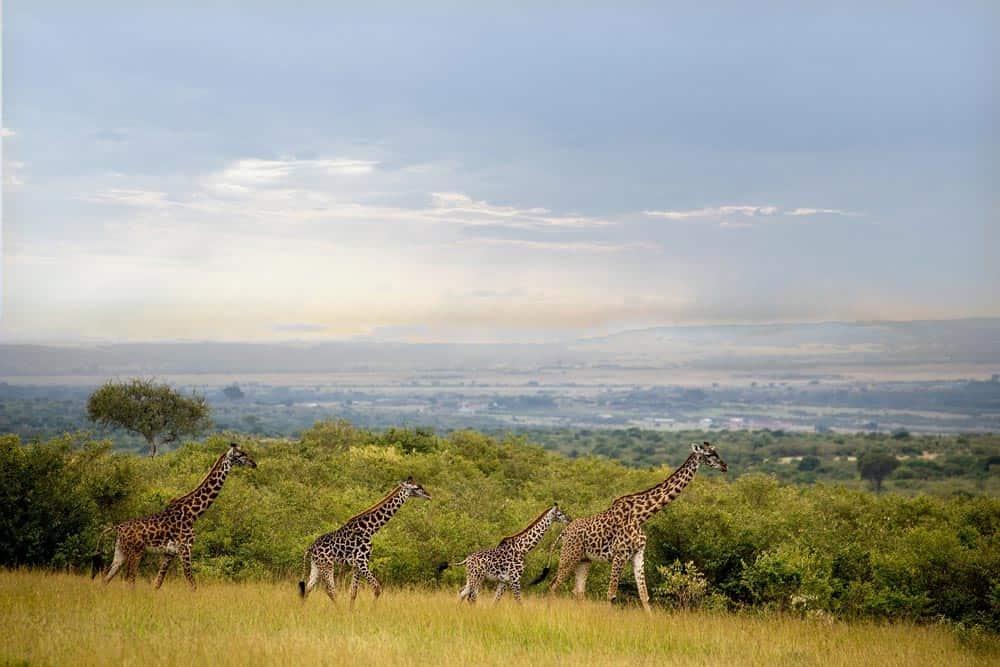 78--Giraffe Family