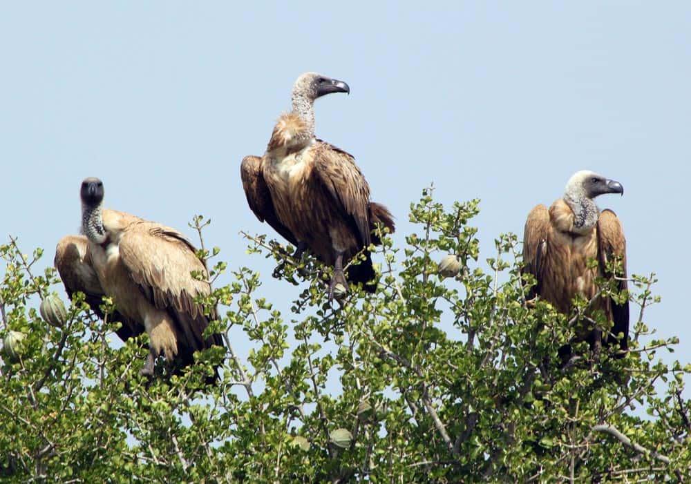 79--Vultures