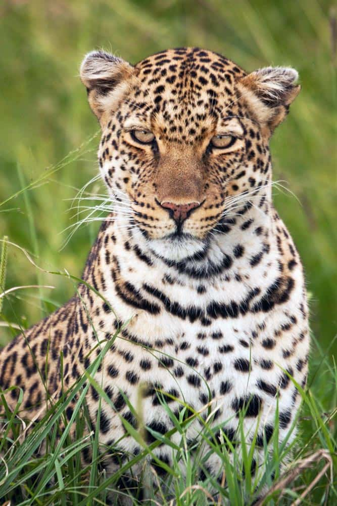 8--Leopard