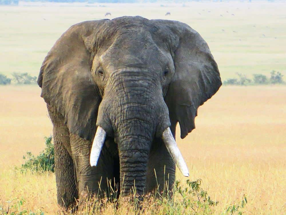 86--Bull Elephant