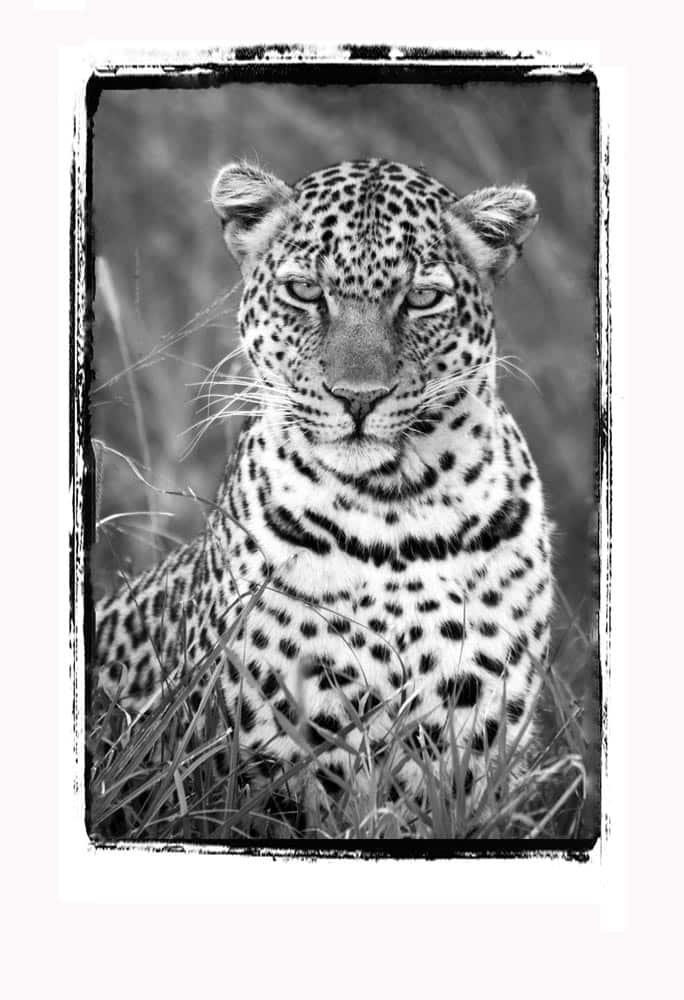 94--B & W Leopard